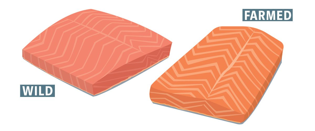 two illustrations of the differene betweeen wild caught salmon and farmed