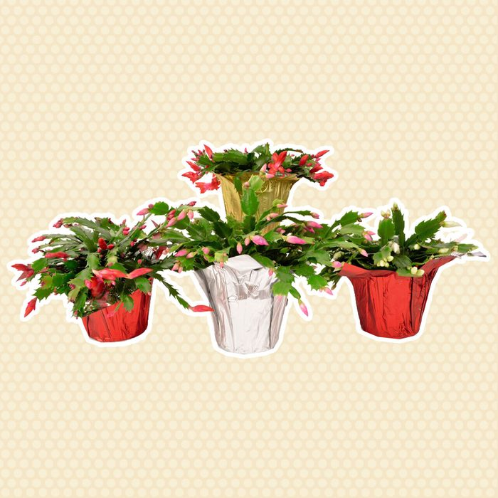 "5"" Christmas Cactus"