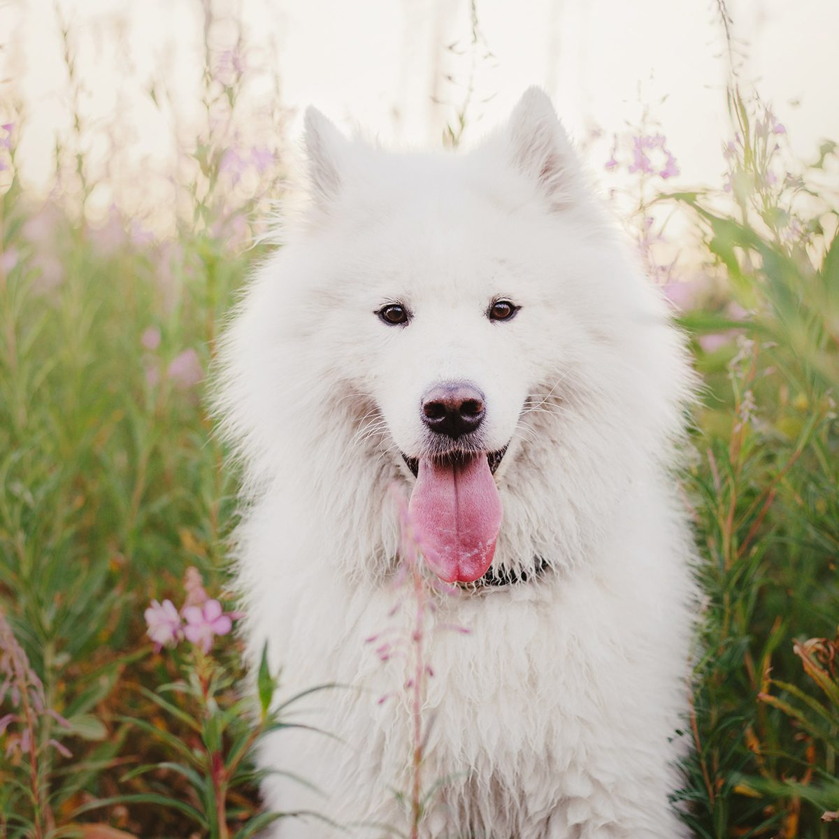 Fluffy white dog in the tall grass