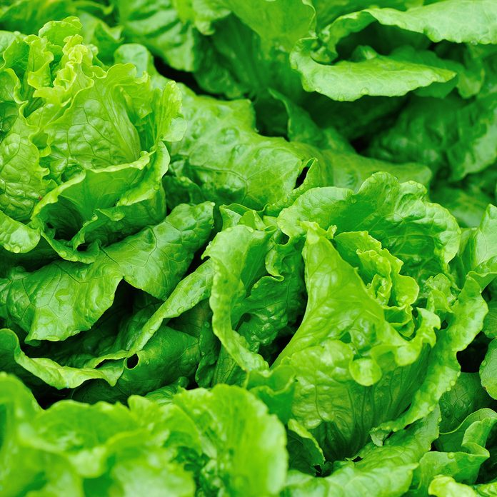 green lettuce plants in growth at field; Shutterstock ID 600762608; Job (TFH, TOH, RD, BNB, CWM, CM): Taste of Home