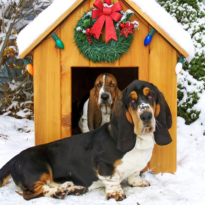 My husband had just made 3 dog houses for our basset pack for Christmas.