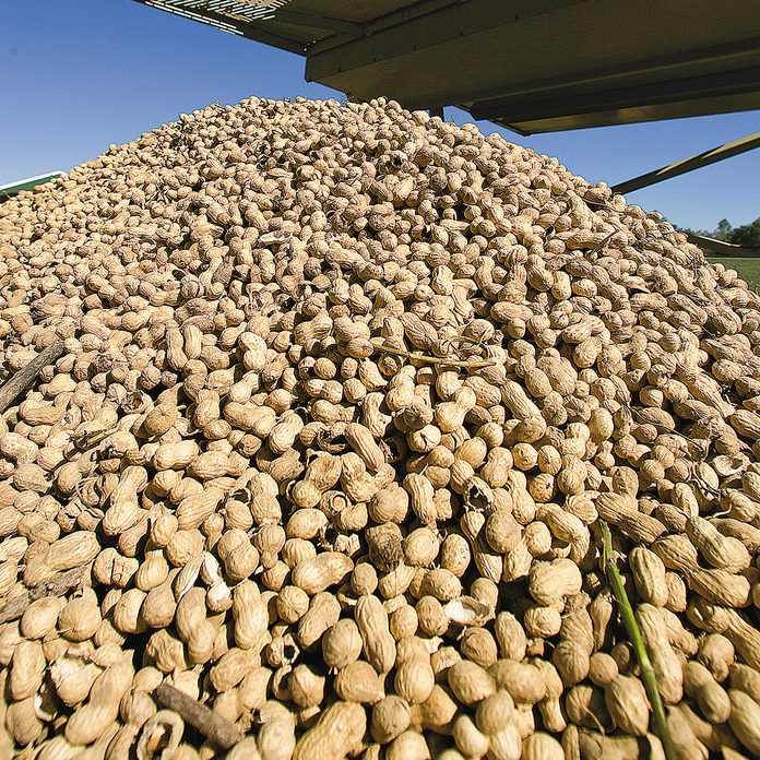 A pile of peanuts on Sunday, Oct 24, 2009, in Snead, Ala. ( Butch Dill)