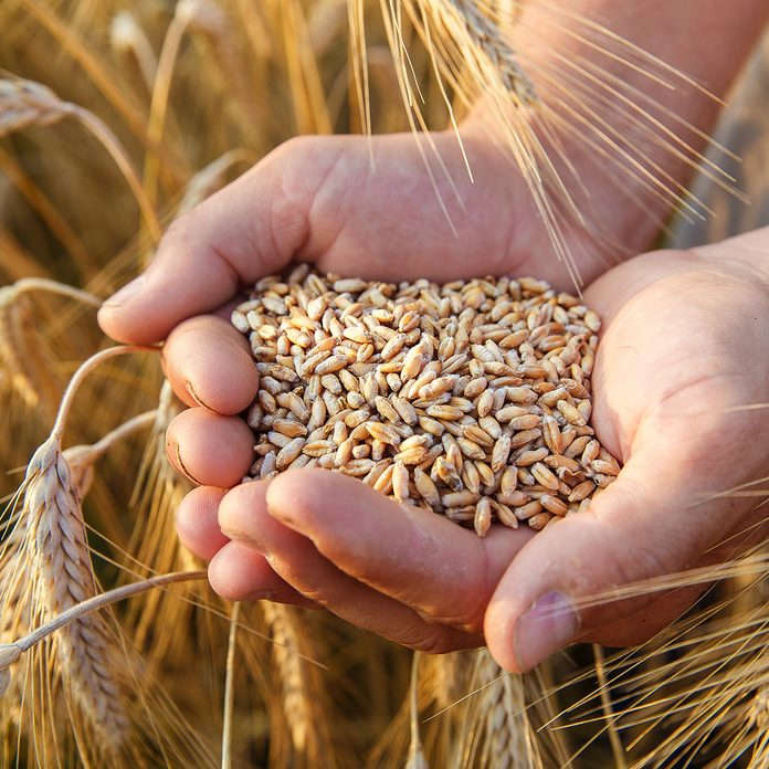The hands of a farmer close-up holding a handful of wheat grains in a wheat field.; Shutterstock ID 488899324; Job (TFH, TOH, RD, BNB, CWM, CM): Taste of Home