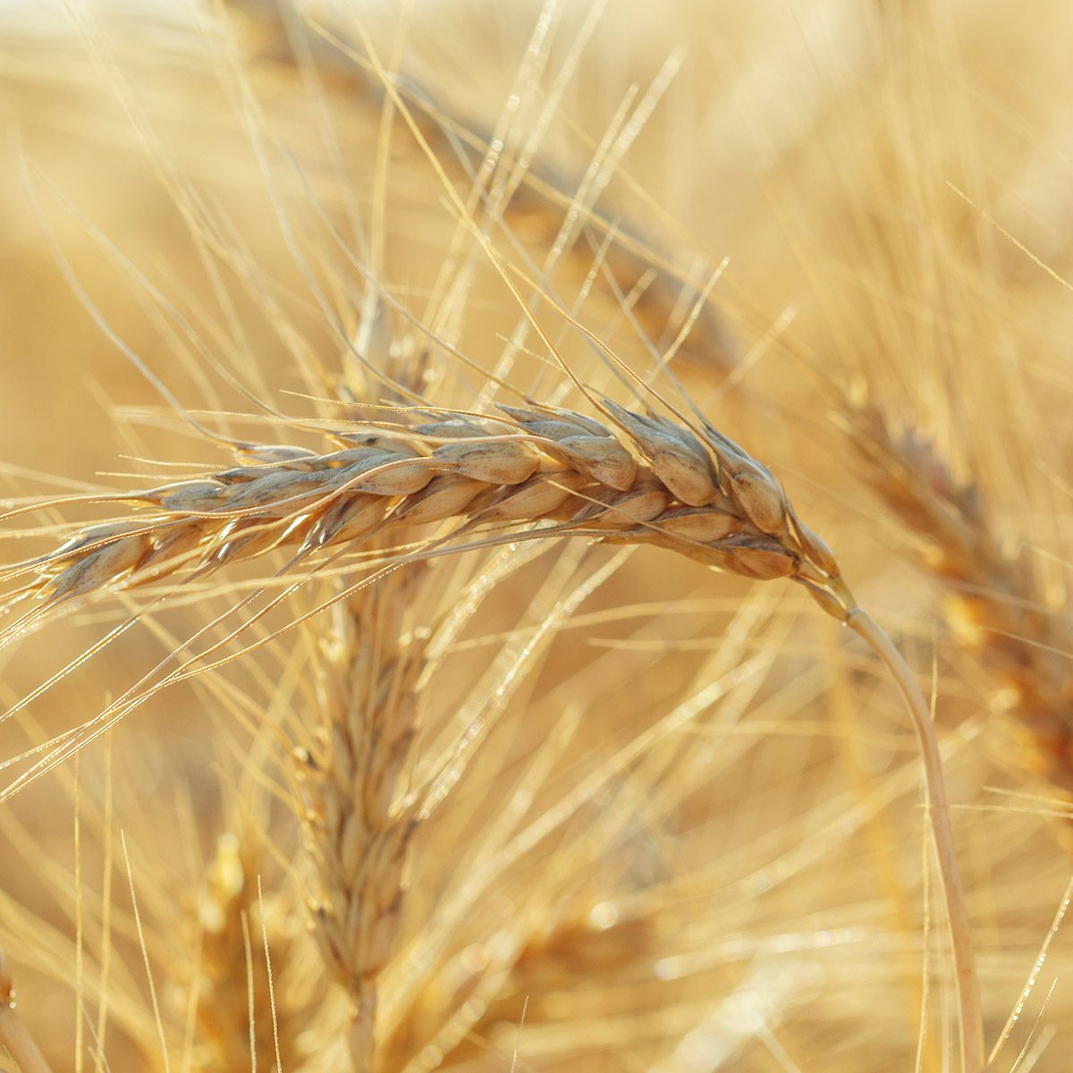 golden wheat field and sunny day; Shutterstock ID 706291111; Job (TFH, TOH, RD, BNB, CWM, CM): Taste of Home