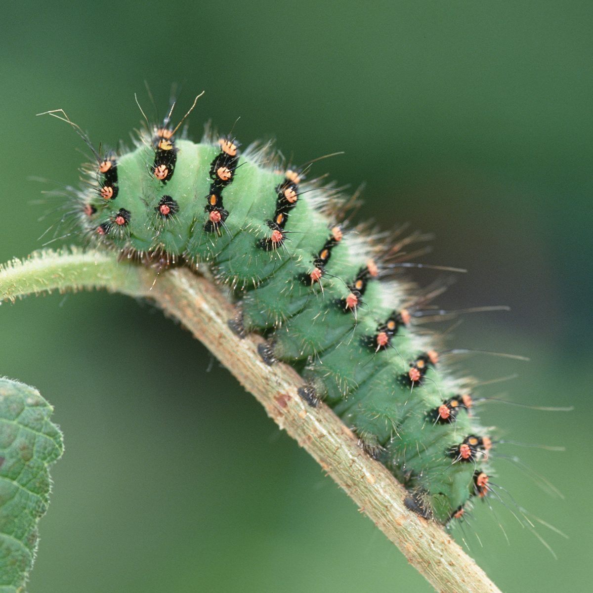 Saturnia pavonia, Small Emperor Moth