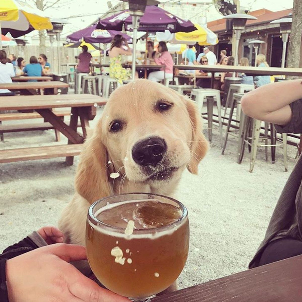 Puppy sniffing a drink at The Tchoup Yard
