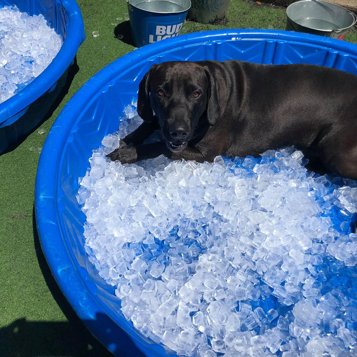 Dog laying in a kiddie pool of ice