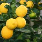 What Is a Meyer Lemon?