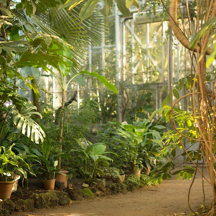 View of an old tropical greenhouse with evergreen plants, palms, lianas on a sunny day with beautiful light in St. Petersburg/ ; Shutterstock ID 1019794357