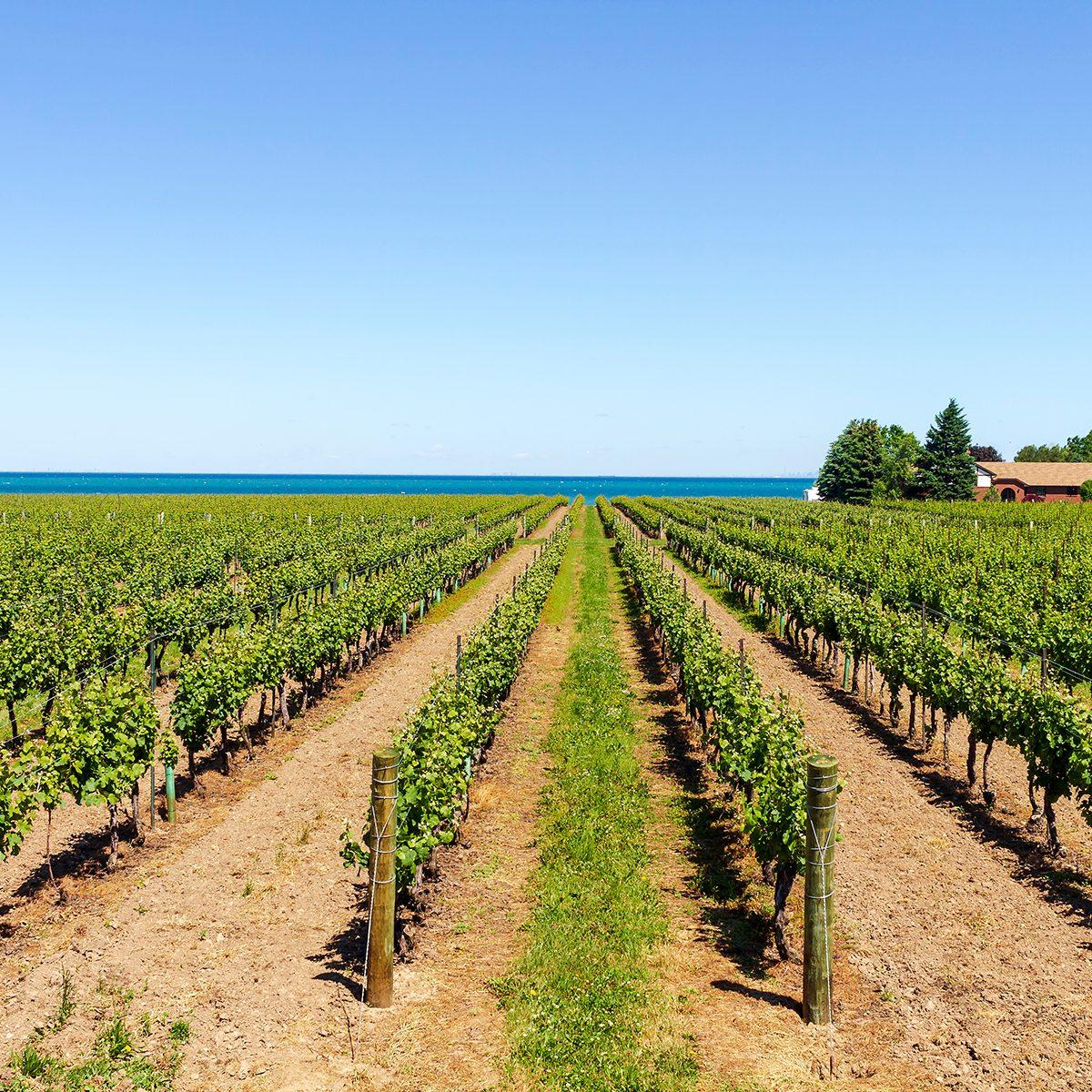 Vineyard on the lake shore of Niagara on the lake