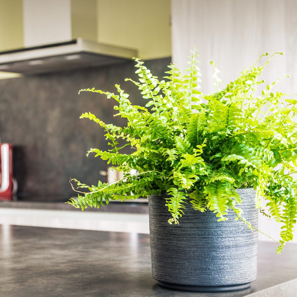 Selective focus of green Nephrolepis Boston fern plant (also called Tiger Fern), placed in grey textured pot in modern kitchen with range hood, extractor fan blurred in background. Selective focus on the plant placed on the kitchen island for decor and freshness in the middle of the domestic room. Slightly sepia toned photography.