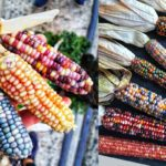 Rainbow Corn Will Make Your Harvest Look Absolutely Magical