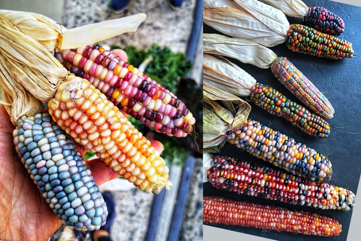 Rainbow Corn Will Make Your Garden Look Absolutely Magical This Fall