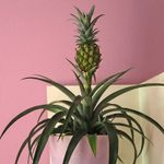 Walmart Is Selling a Pineapple Plant That Will Bring the Tropics Home