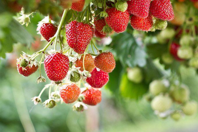Strawberry in the farm.Strawberries; Shutterstock ID 306865835; Job (TFH, TOH, RD, BNB, CWM, CM): TOH