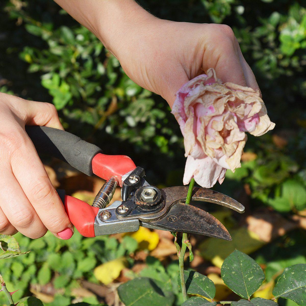 Cutting a dead flower