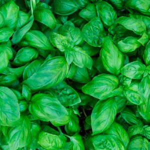 Your Guide to All the Different Types of Basil