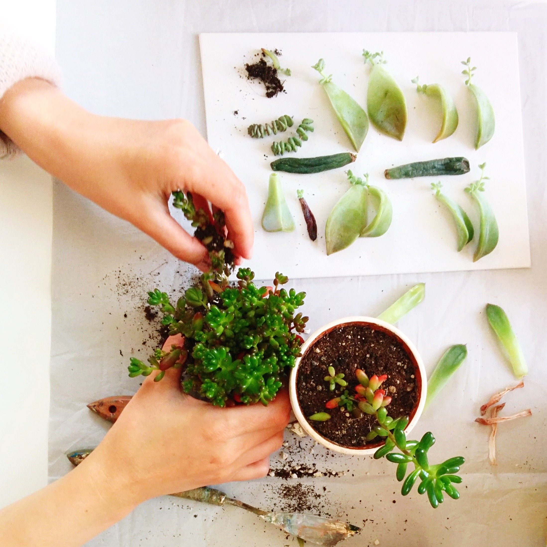 PropagateWoman Planting Succulent Plant At Home