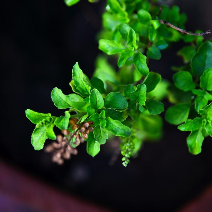Ocimum tenuiflorum, also known as Holy Basil & tulsi in India. Tulsi is cultivated for religious and medicinal purposes, and for its essential oil. It is widely known across South Asia as a medicinal plant and an herbal tea, commonly used in Ayurveda. Tulsi is worshiped by Hindus and is an important symbol of Hindu religion. It is a very common sight to find Tulsi Vrindavan ( A special structure where tulsi is grown) in houses of Hindus.