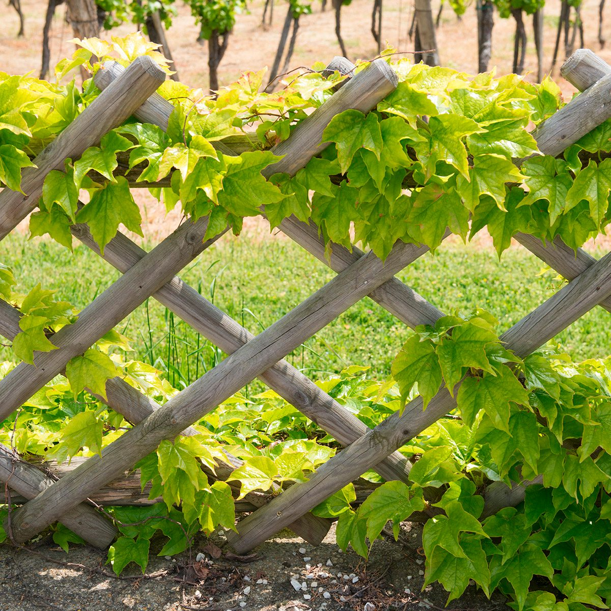 pergola fence in the vineyard in a small European city