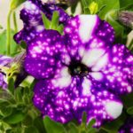'Night Sky' Petunias Are Gorgeous, and They Belong in Your Garden This Summer