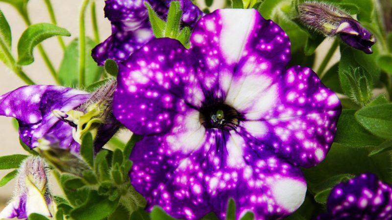 night sky petunia flower