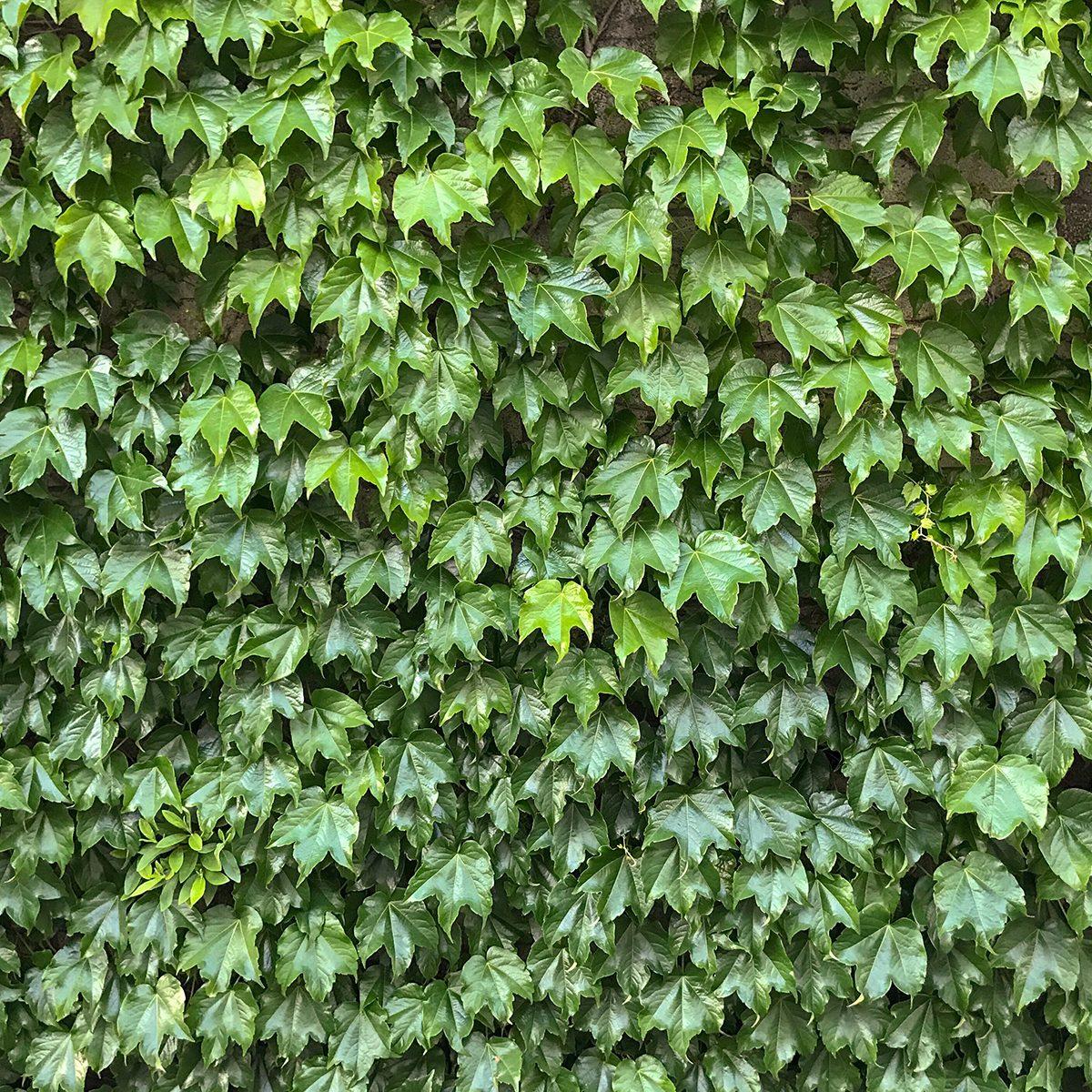 Fresh green leaves of boston ivy