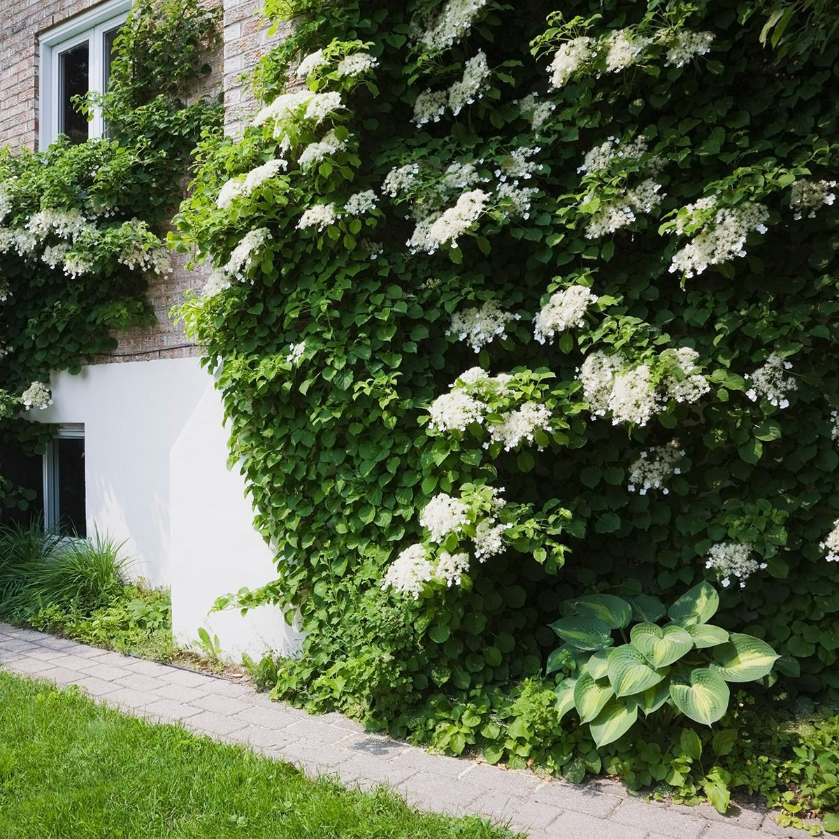 Paving stone path and climbing Hydrangea Petiolaris flowers growing on the side of a residential home at springtime