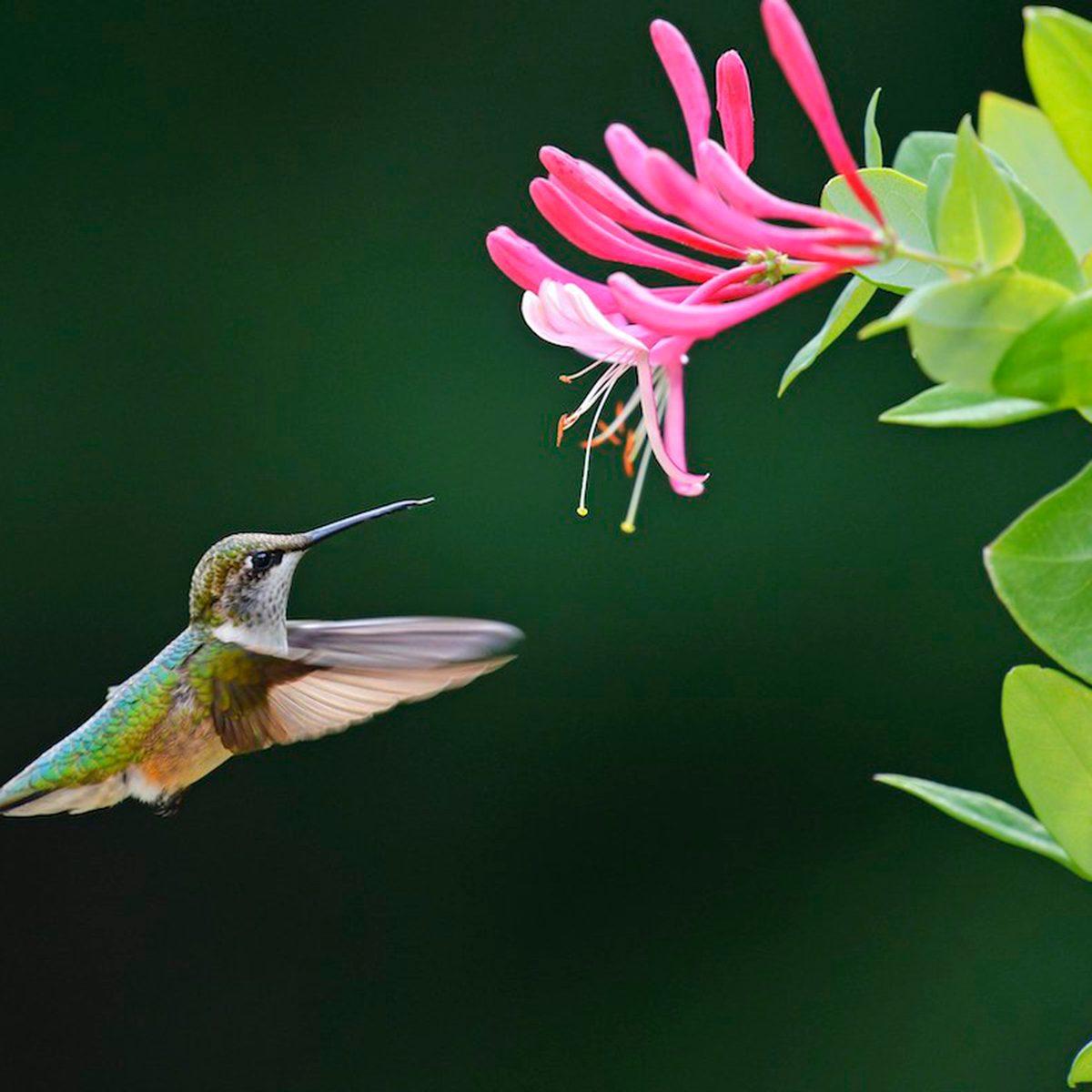 Hummingbird hovering by honeysuckle flower