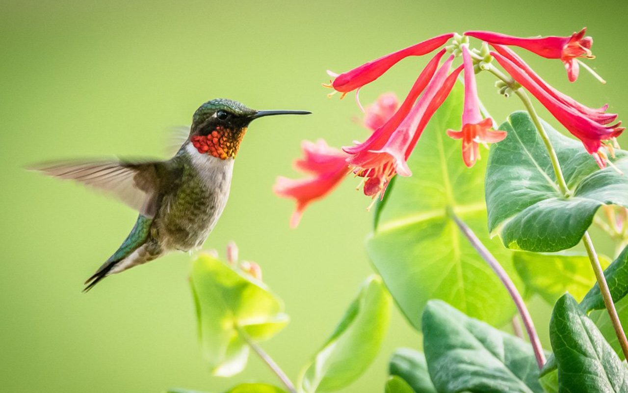Ruby-throated hummingbird with red honeysuckle flowers