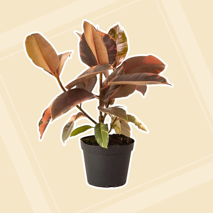 home office plants Lively Root 6 In Ruby Rubber Plant Tree Ficus Reobusta Ruby Plant In Grower Pot