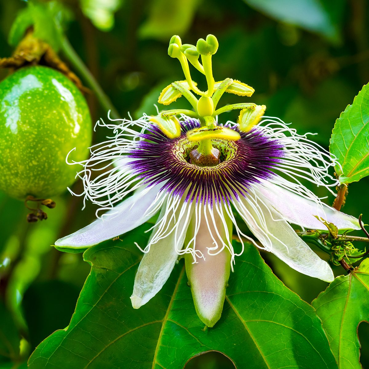 Passion fruit and flower on a vine