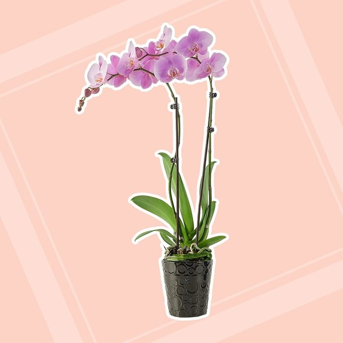 home office plants Phalaenopsis Orchids Double Orchid Ceramic