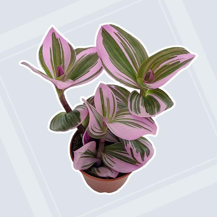 home office plants Rare Nanouk Pink Wandering Tradescantia