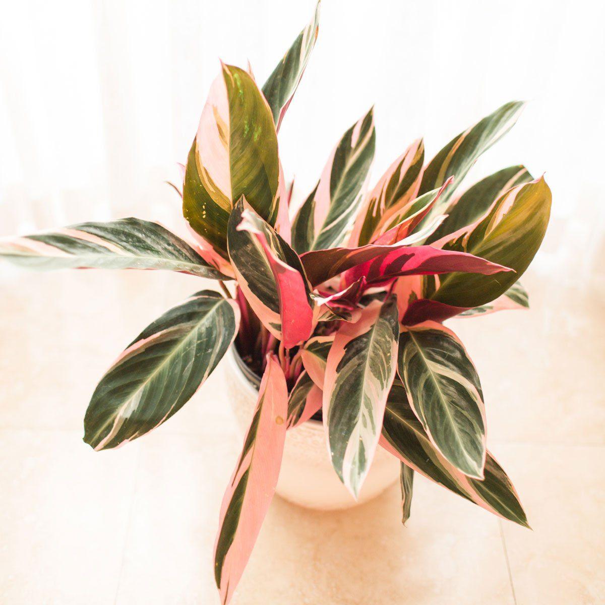 Stromanthe plant