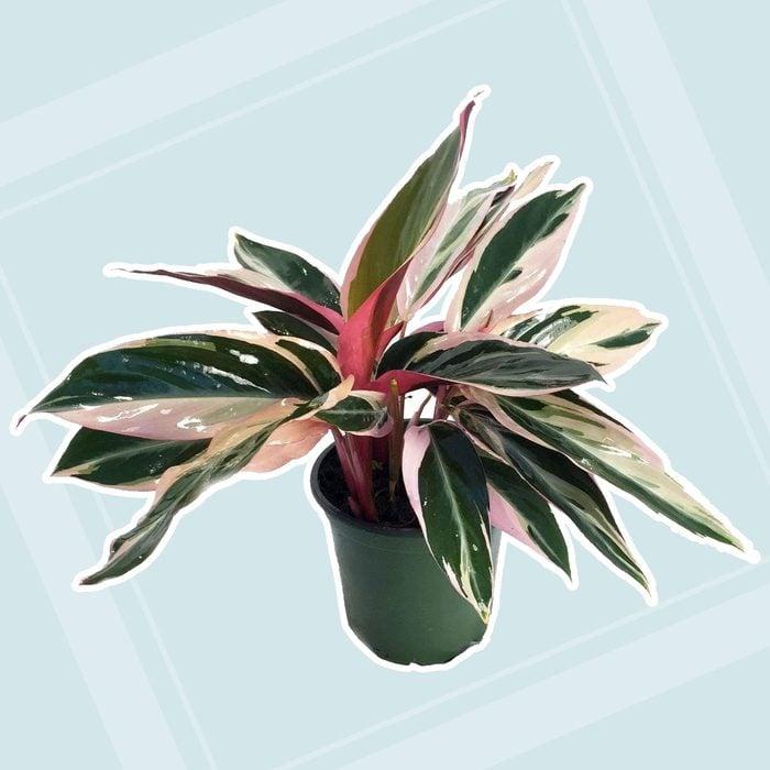 home office plants Tricolor Prayer Plant Stromanthe Triostar