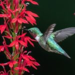 Cardinal flower and hummingbird