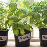 What You Need to Know About Buying Potted Herbs at Big-Box Stores