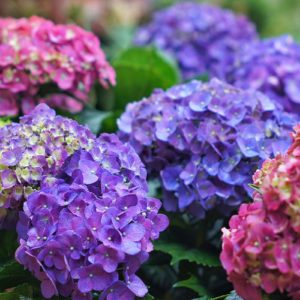 Here's How to Prune Hydrangeas for the Perfect Summer Bloom