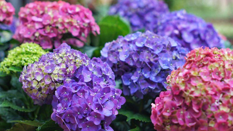 Close-Up Of Purple Hydrangea Flowers In Park