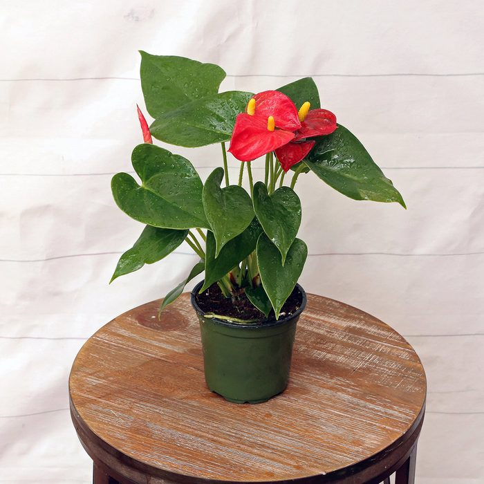 home office plants Live Anthurium In 4 Growers Pot Blooming
