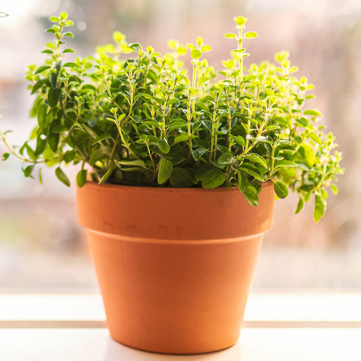Two terracotta pots with fresh homegrown organic herbs in a window sill in the early spring. One is rosemary and the other one is with oregano.