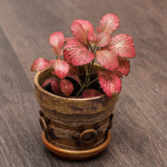Red nerve plant