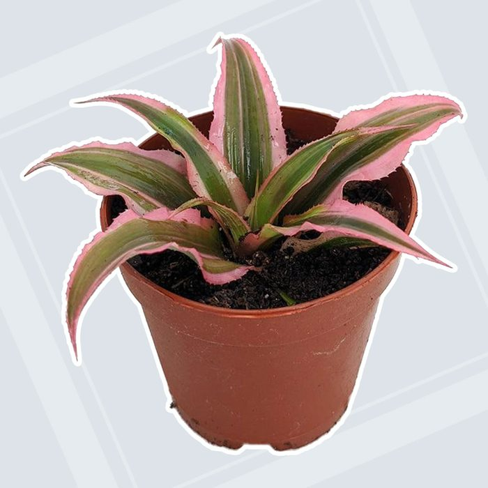home office plants Pink Earth Star Plant Cryptanthus Easy