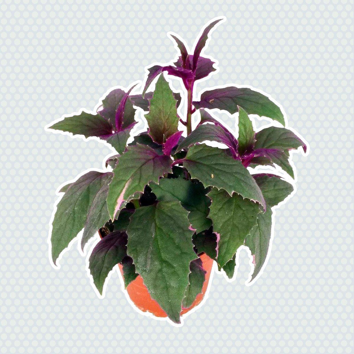 Purple Passion Plant