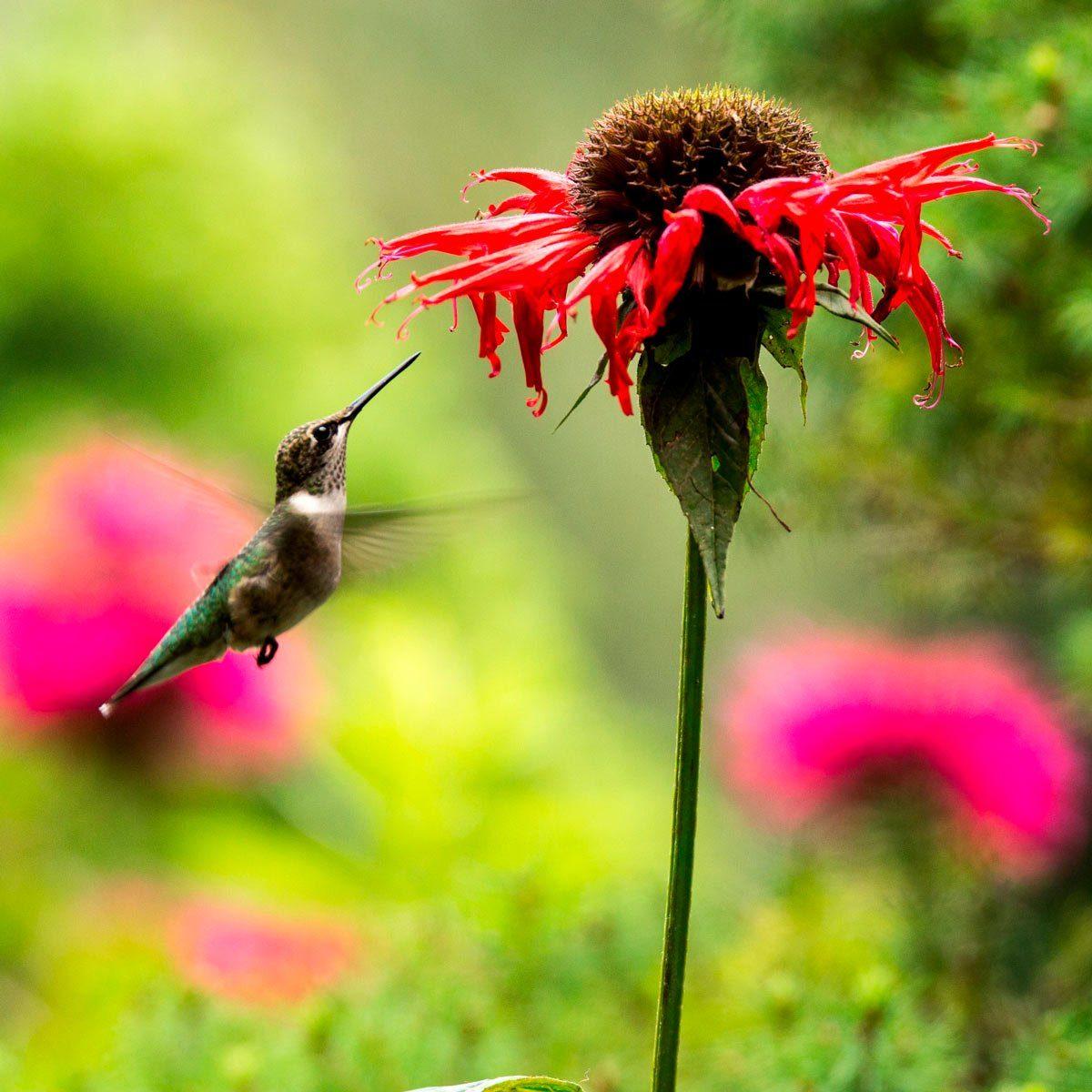 hummingbird flies near a red flower