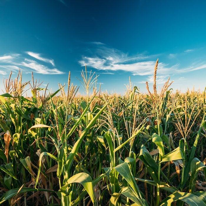 Green Maize Corn Field Plantation In Summer Agricultural Season. Skyline Horizon, Blue Sky Background.