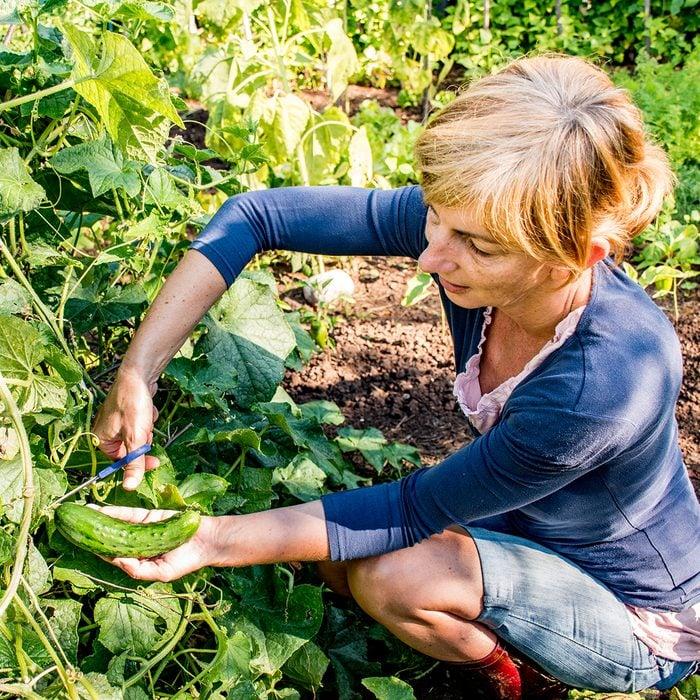 Mid Adult Woman Harvesting Homegrown Organic Cucumber.