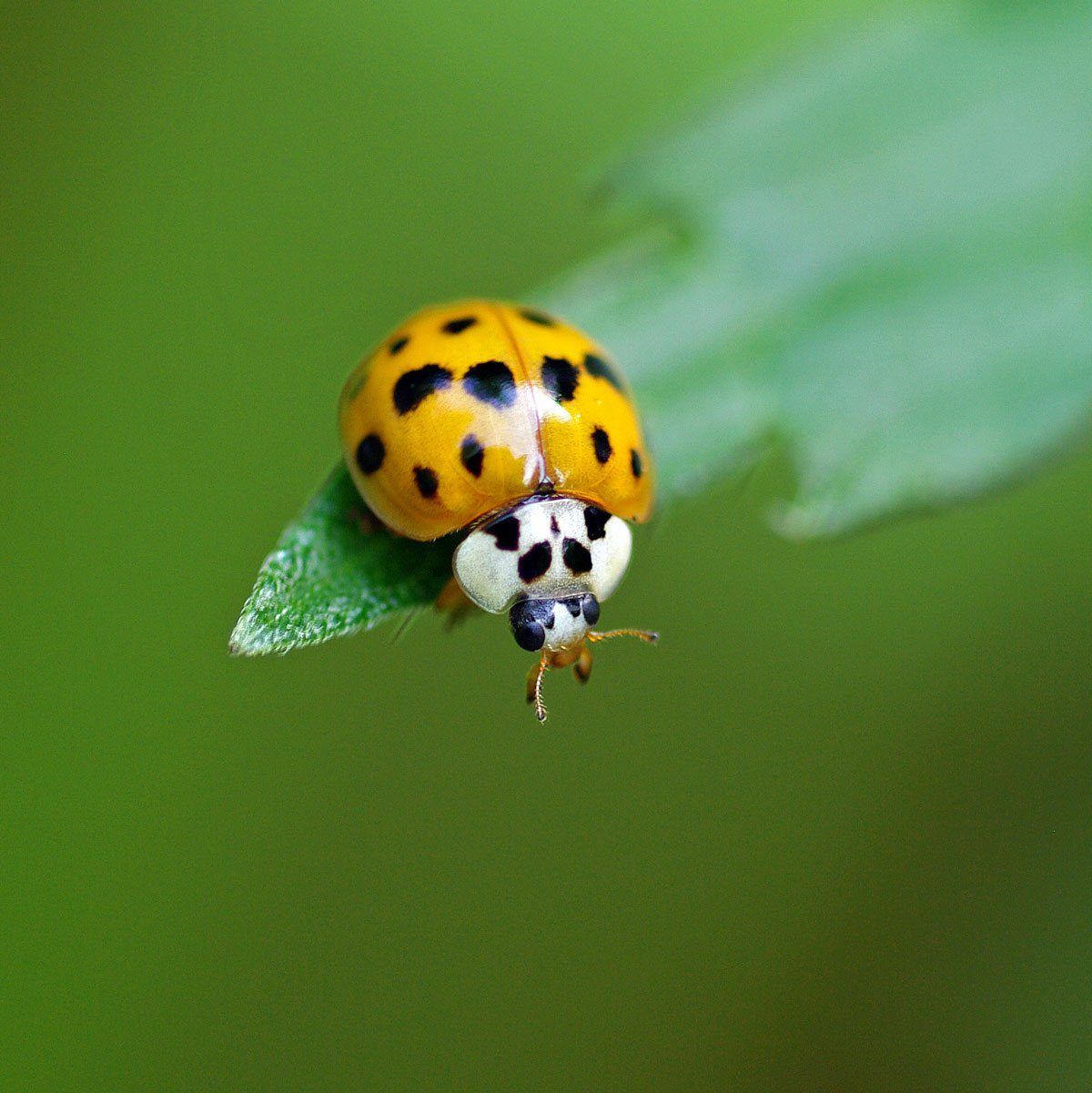 Asian ladybug sits on a green leaf