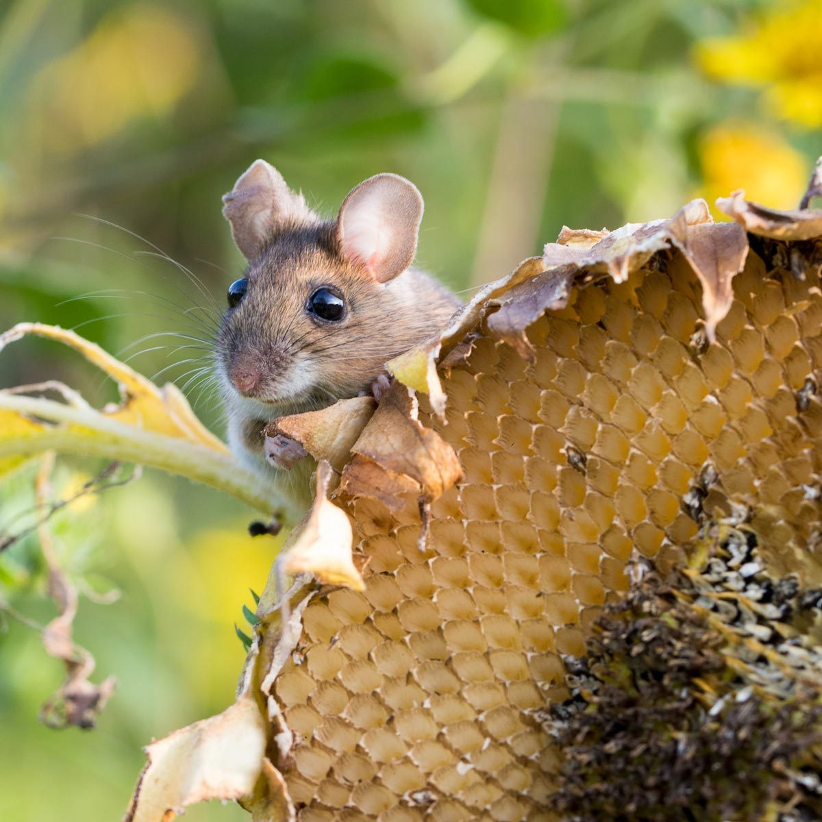 harvest mouse on a sunflower